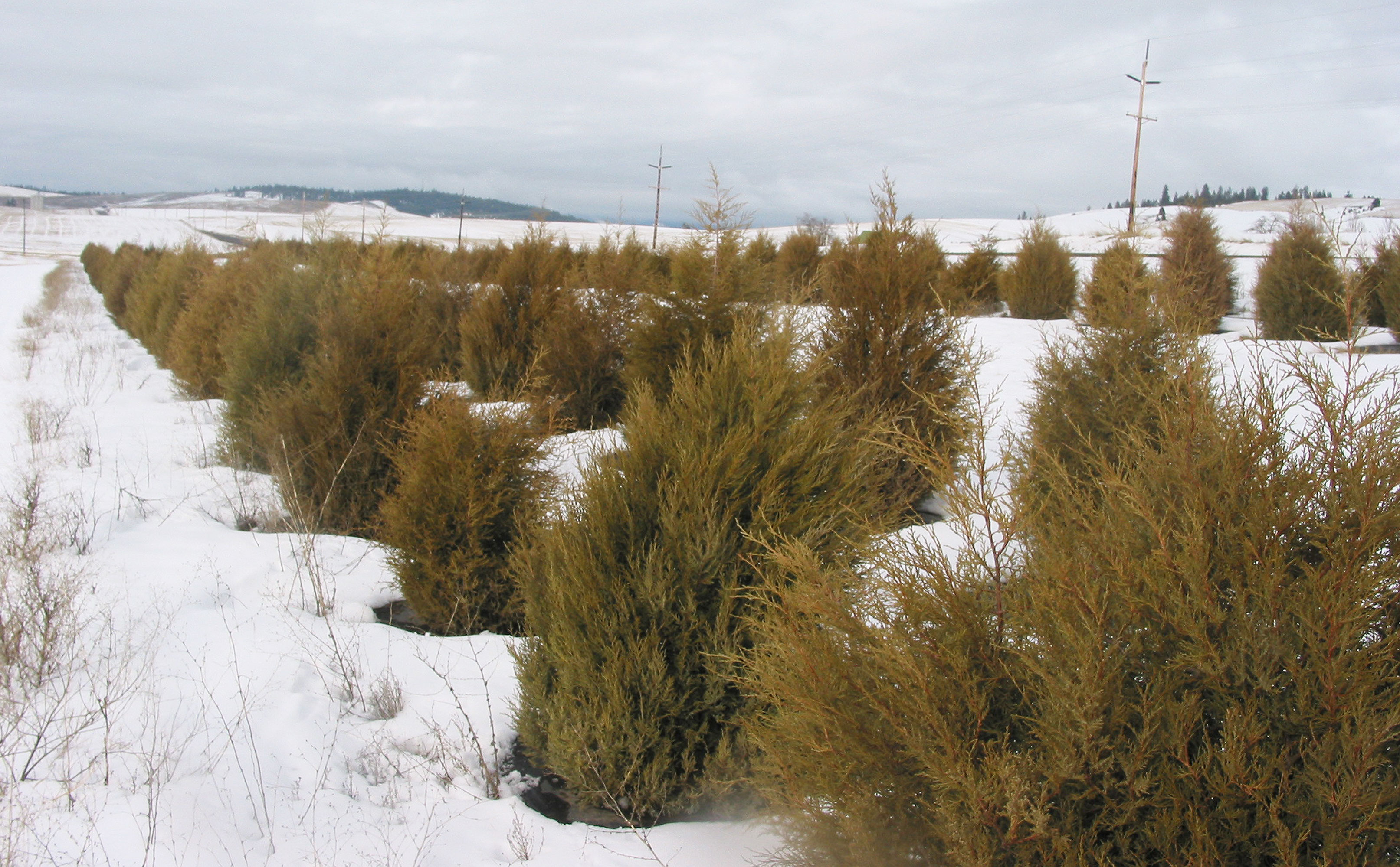 Living Snow Fence Thrives, Surprises In Drylands
