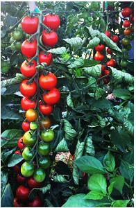 sakura-honey-tomatoes
