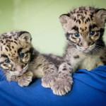2-Clouded-leopard-cubs-web