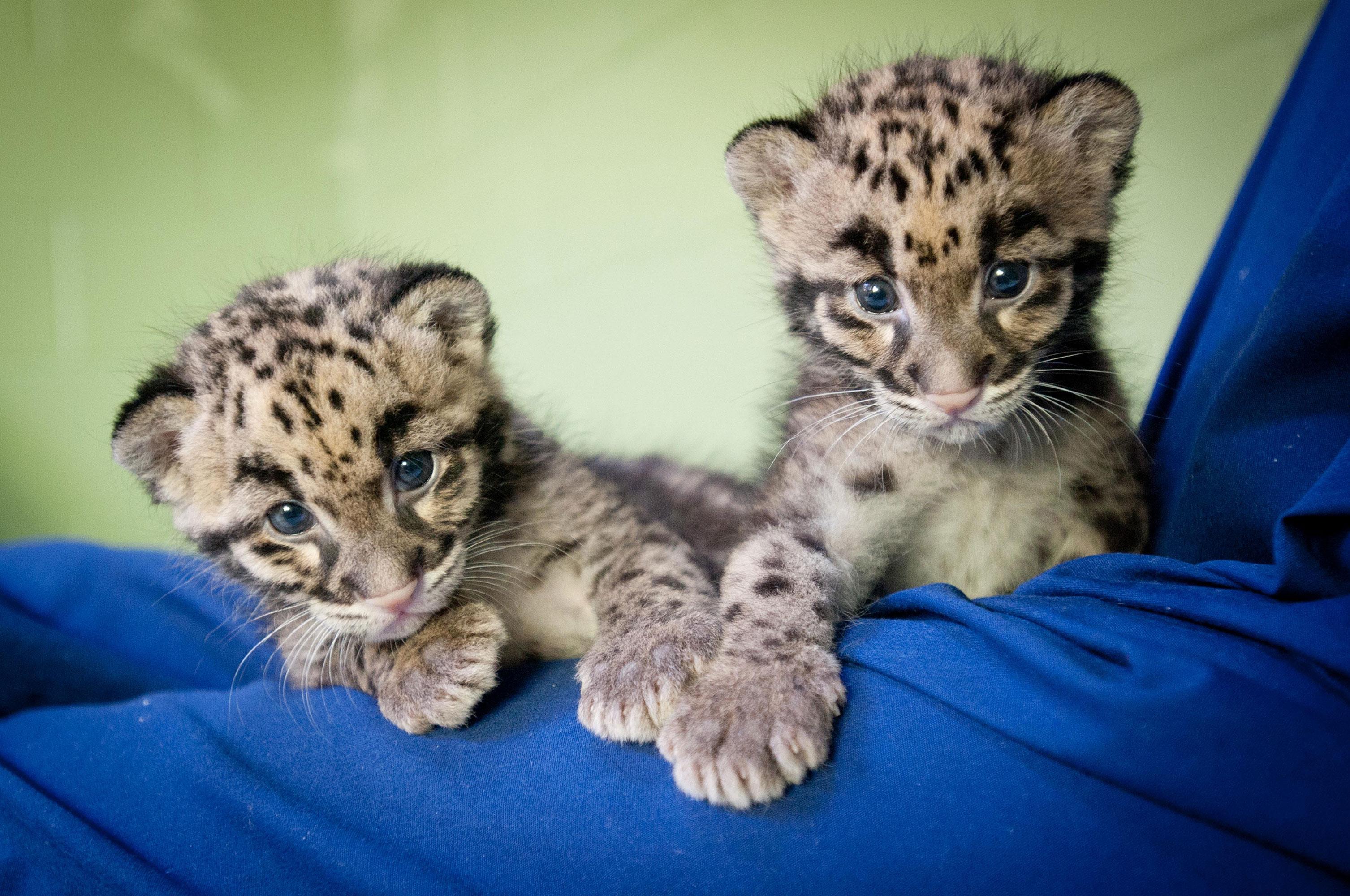 2 clouded leopard cubs web wsu insider washington state university