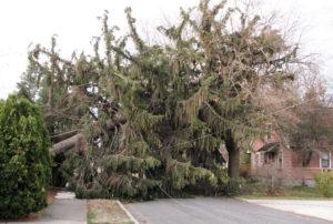 Spruce-tree-web