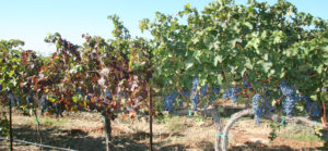 Grapevine-leafroll-disease-in-cabernet-sauvignon-vines-web