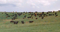 beef-cattle