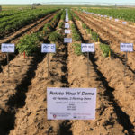 The WSU Othello Research Farm offers ideal conditions for testing potato seed from around the nation.