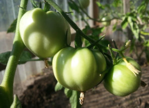 Green-tomatoes-web