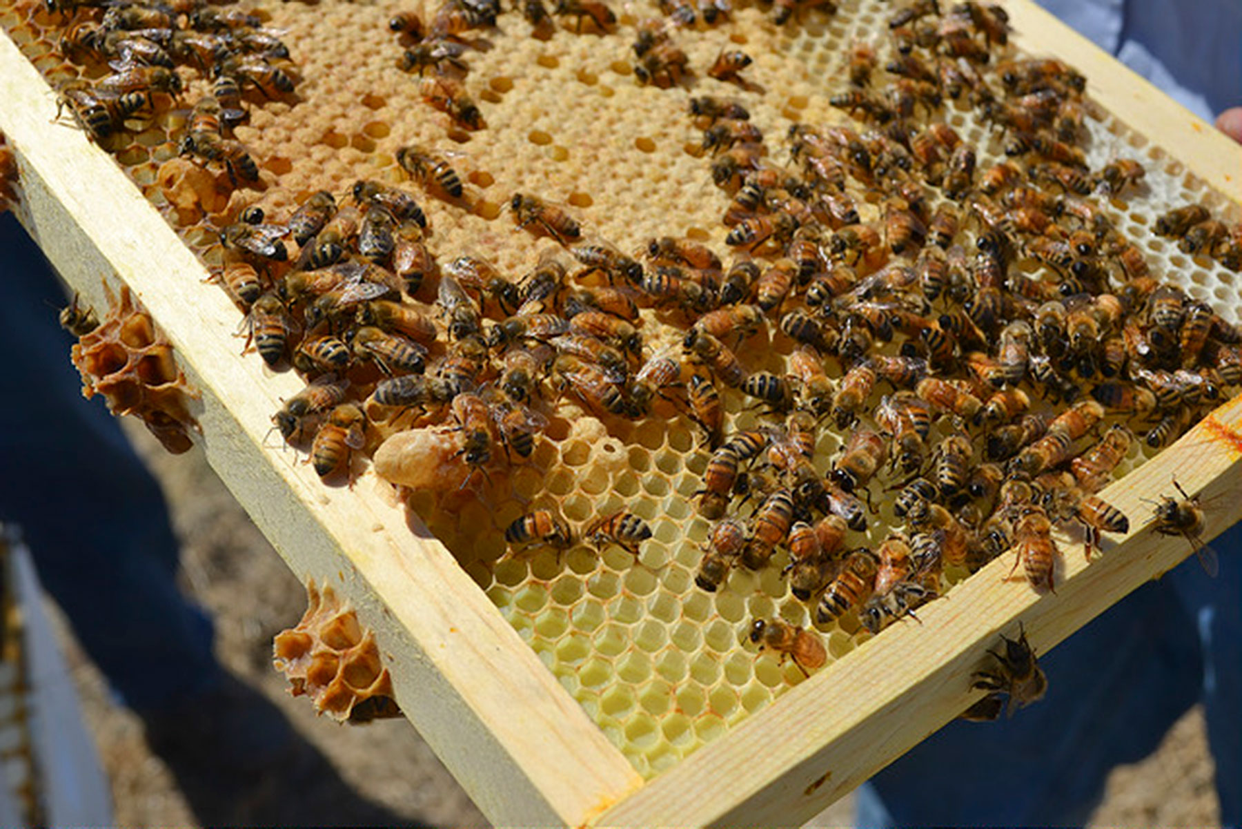 an analysis of beekeeping in bees to honey The number of beekeepers in the eu is decreasing but, the number of hives is increasing we love bees bees honey beekeeping  it is the report that is used as analysis of national beekeeping programmes founded with.