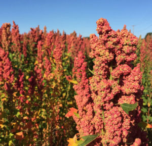 Quinoa-field-in-Sequim