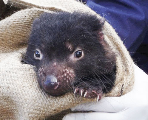 Darwinian hope for Tasmania's tumour-ravaged devils