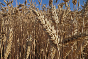 wheat-field-by-Henry