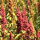 quinoa-detail