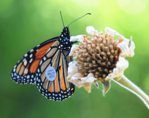 tagged-monarch-web