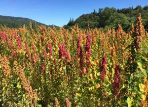 wsu-research-quinoa-web