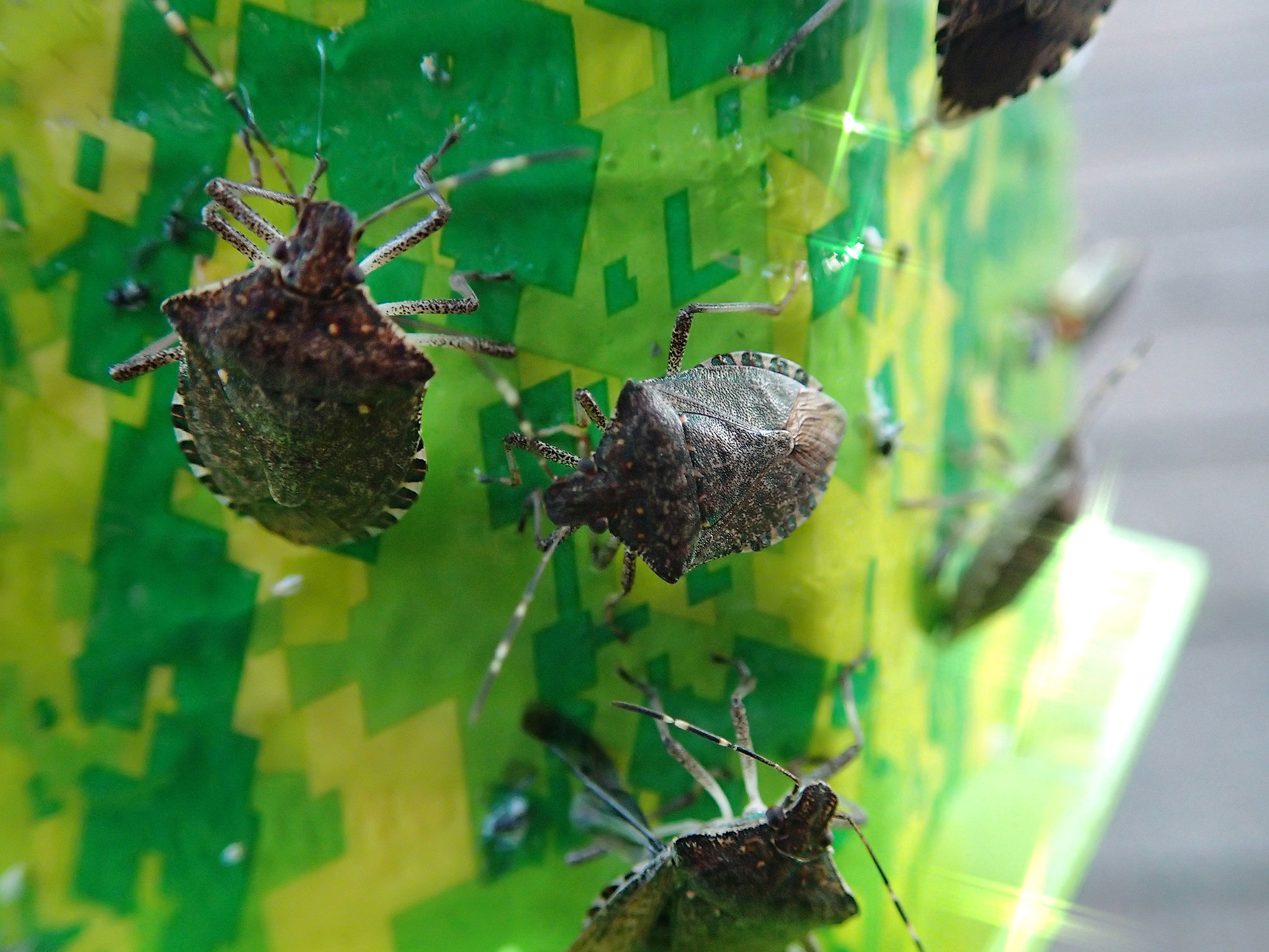 stink bugs invade more counties homes in washington wsu news