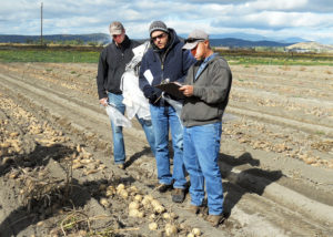 pavek-and-tri-state-researchers-select-new-potato-varieties-web