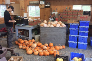 heng-sorts-squash-and-pumpkins-at-the-wsu-farm-web