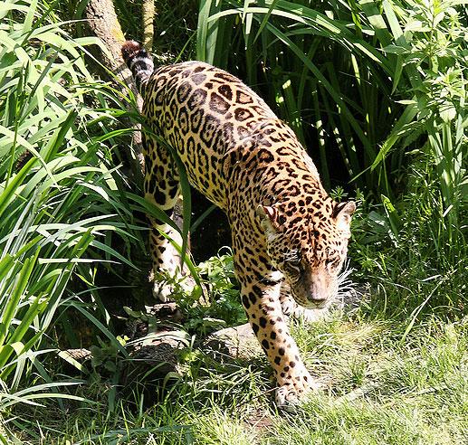 The New Jaguar: WSU Research Highlights Deforestation Threat To Jaguars