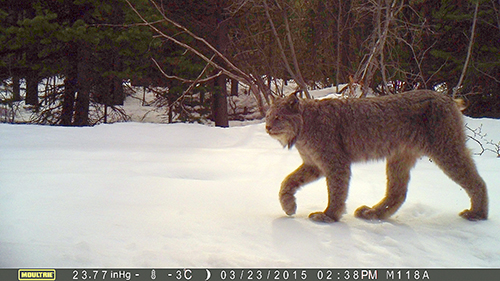 Lynx in wild WSU research