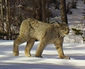 lynx in wild - wsu research