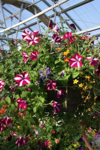 basket of petunias