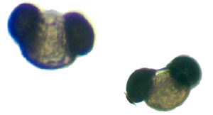 Pollen mickey mouse pic