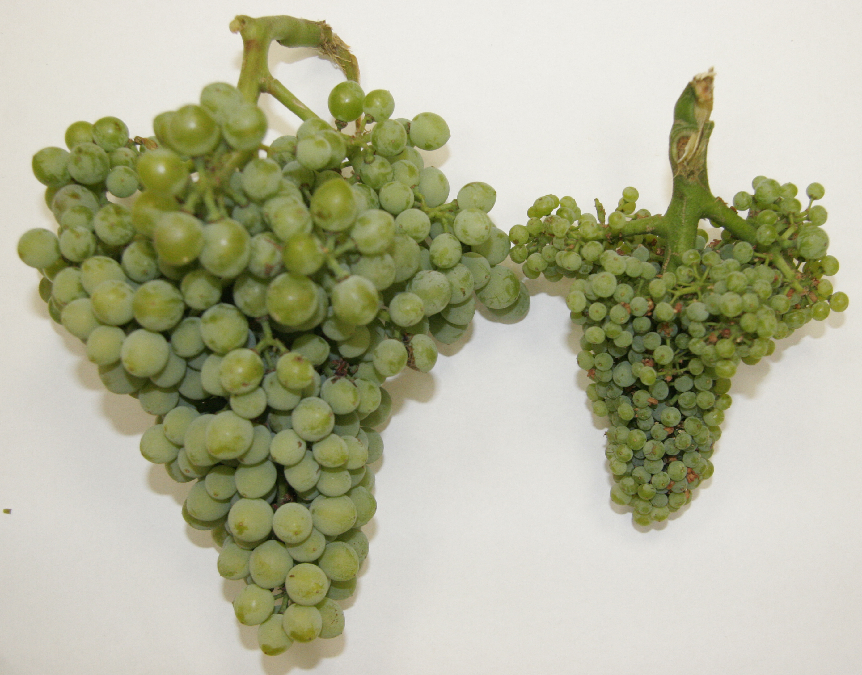 healthy vs infected grapes
