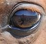 horse healthy eye