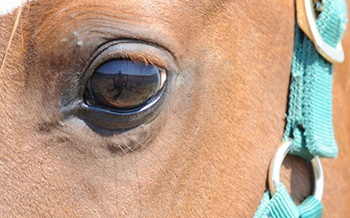 A well-hydrated horse has a bright eyes surrounded by healthy tissues