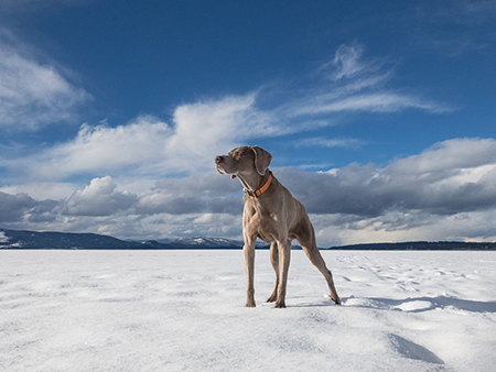 A recovered Sugar celebrates another winter on Flathead Lake in Montana. Photo by Lauren Grabelle.