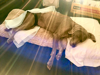 A paralyzed Sugar in a Pullman motel the morning of her appointment at the WSU Veterinary Teaching Hospital. Photo by Lauren Grabelle.