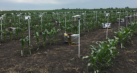 Using consumer point-and-shoot cameras controlled by Raspberry Pi micro-computers to collect time-lapse videos of maize plants growing at Iowa State University. Photo by Patrick S. Schnable.