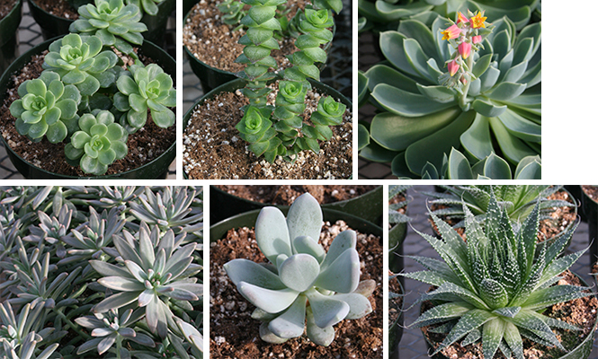 gallery of succulent plants
