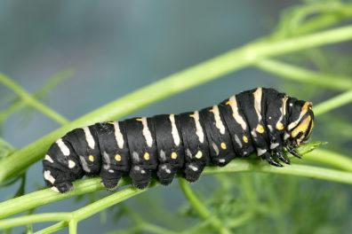 Papilio indra L5