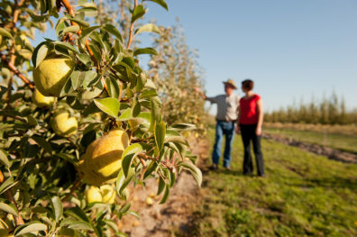 Researchers inspect pears at Prosser farm.
