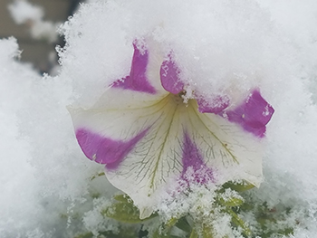Flower caught in first snow.
