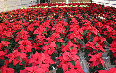 WSU greenhouse full of poinsettia varieties