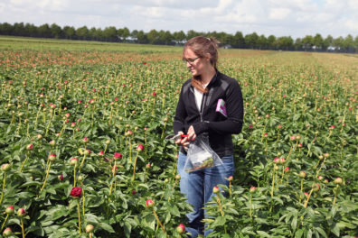 Andrea Garfinkel inspecting field of peonies with flower trimmers.