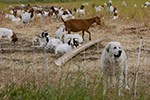 great pyrenees dog and sheep