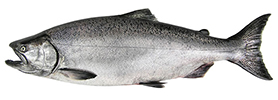chinook salmon wa dept fish wildlife