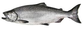 chinook salmon wa dept fish wildlife