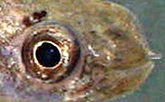 mangrove killifish head