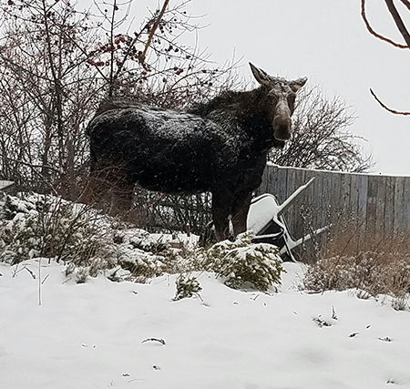 Heavy snow falls on a very large moose in the author's backyard last Saturday morning in Moscow. Photo by Linda Weiford.