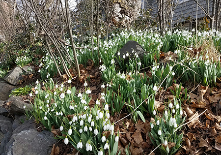 Snowdrop flowers in full bloom Feb. 5 in Pullman. (Photo by Linda Weiford)