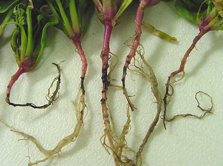 Spores on spinach roots reveal Fusarium fungus infection. The fungus invades the plant's vascular system, feeding on the plant and stealing its water and nutrients.