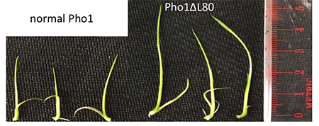 After five days, rice plants with the extra phosphorylase peptide removed (right) are nearly double the size of normal rice plants (left).