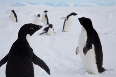 Adelie penguins at play in Antartica