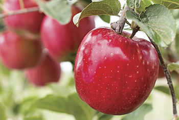 WSU works closely with crop and fruit growers statewide to improve quality, yields and solve problems with insects and plant pathology issues. WSU researchers work with a multitude of crops including wheat, barley, hops, cranberries, cherries, asparagus, and more.