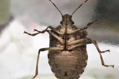 Brown marmorated stink bug. Note white bands on antennae. Photo courtesy of Steve Dilley.