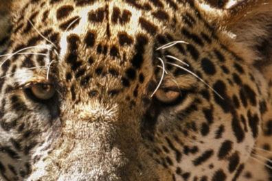 American jaguar in the nature habitat of Brazilian jungle, panthera onca.