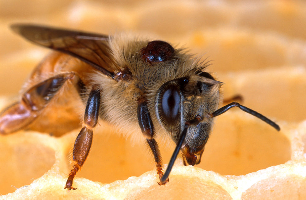 The black bump on this honey bee's back is a varroa mite. Mites weaken bees' immune systems, transmit viruses, and siphon off nutrients. Photo by Scott Bauer, USDA Agricultural Research Service.