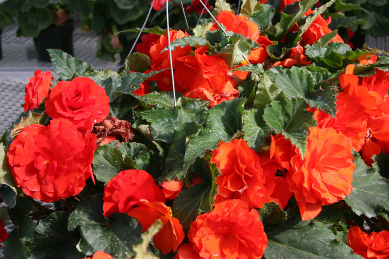 hanging baskets of bright orange begonias